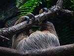 sloth, claw, upside down