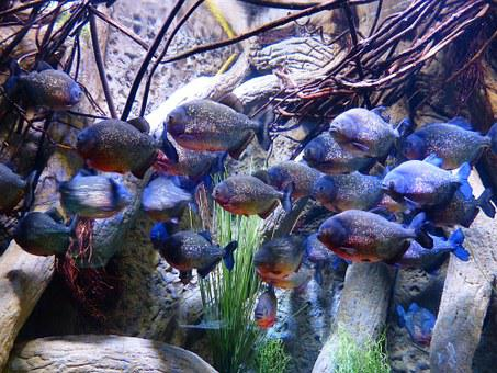 Piranhas, Fish, Aquarium, Saw Tetra