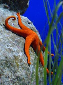 Starfish, Red, Aquarium, Red Starfish