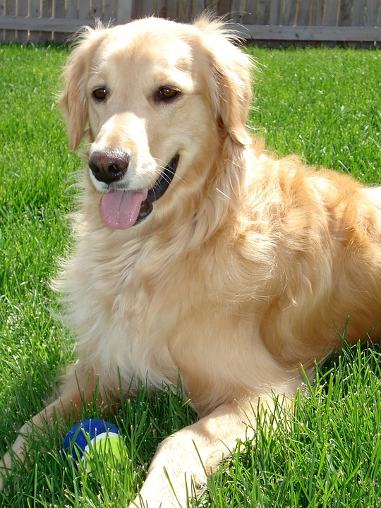Simple Golden Retriever Canine Adorable Dog - golden-retriever-453122_960_720  Best Photo Reference_598687  .jpg