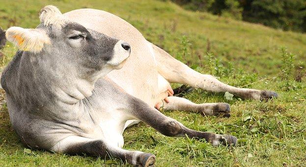 Cow, Pasture, Lazing Around, Lazy, Lying