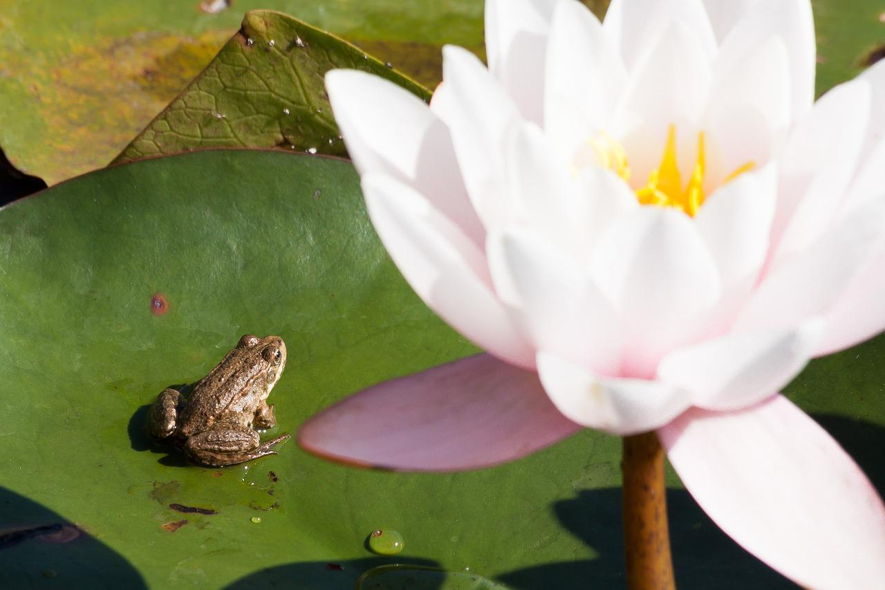 кадры, жаба на лотосе фото вклад внесли