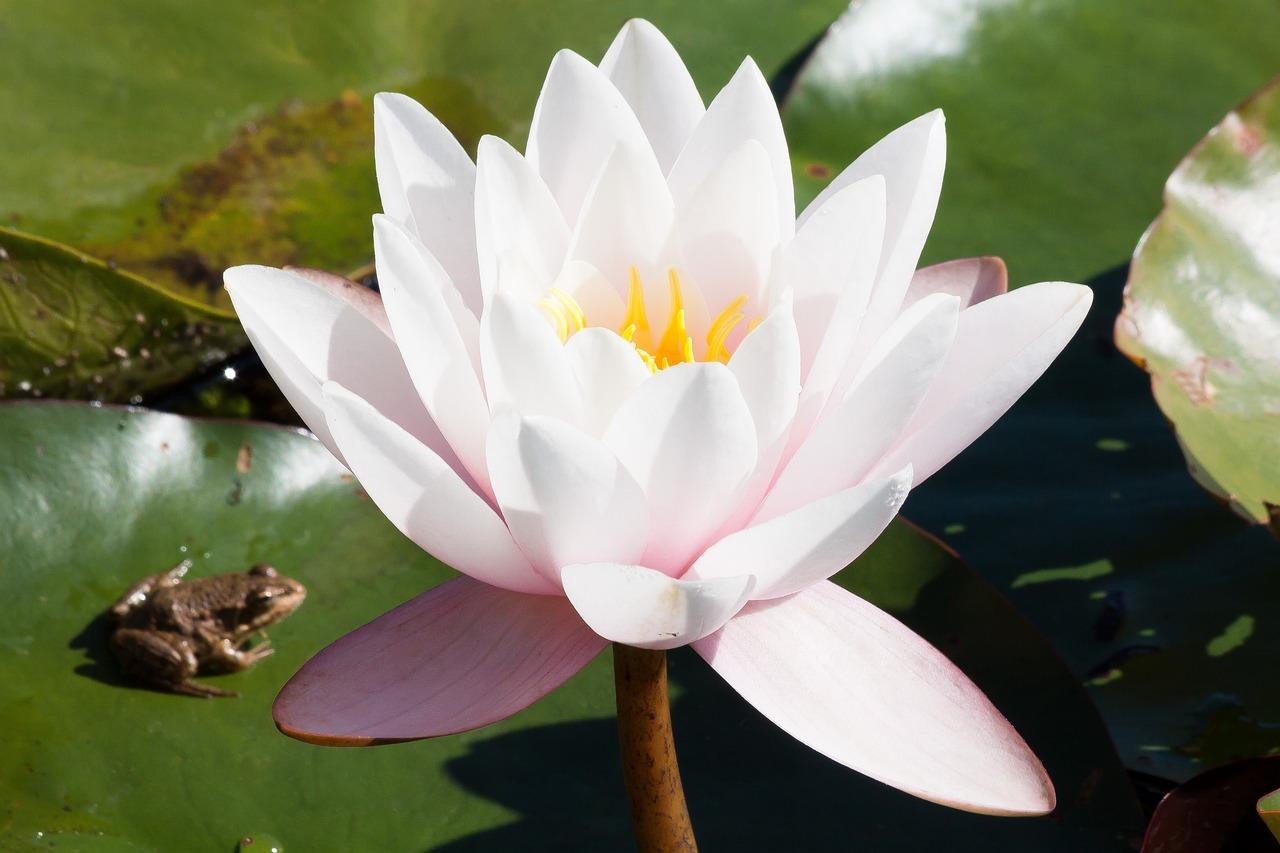 Картинки кувшинка белая водяная лилия, днем
