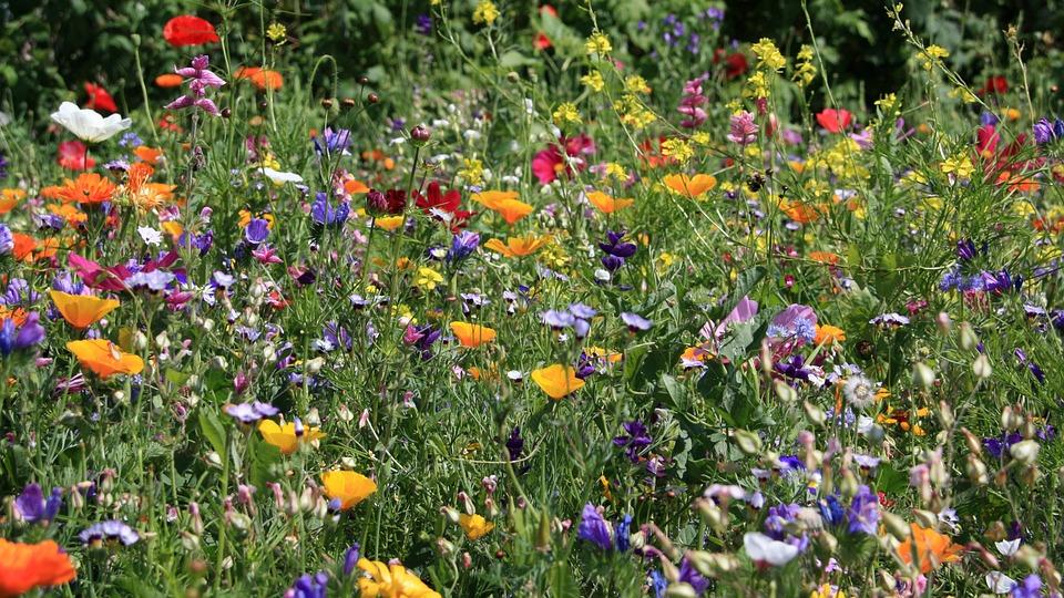 Blumenwiese, Wiese, Blumen, Feld, Rot, Bunt, Blüten