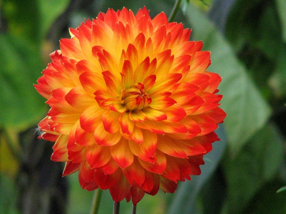 photo gratuite: dahlia, fleur, orange, jaune, bloom - image