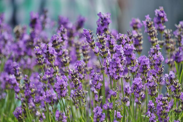 Lavender Field Ornamental · Free Photo On Pixabay
