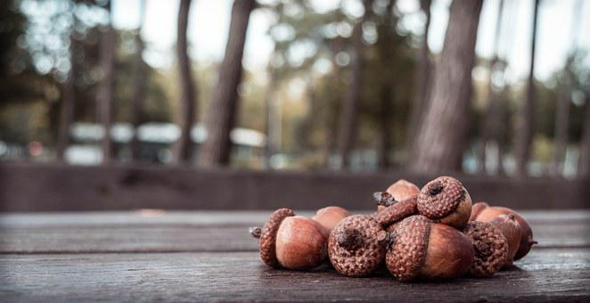 Acorn, Acorns, Autumn, Oak, Nature