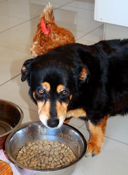 Perro, Pollo, Animales, Cuenco, Fressnapf, Comer, pienso en plato sin carbohidratos