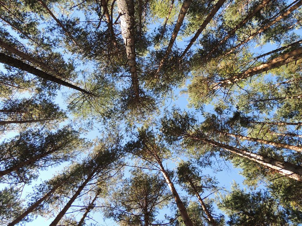 Pine Forest Trees  Free photo on Pixabay