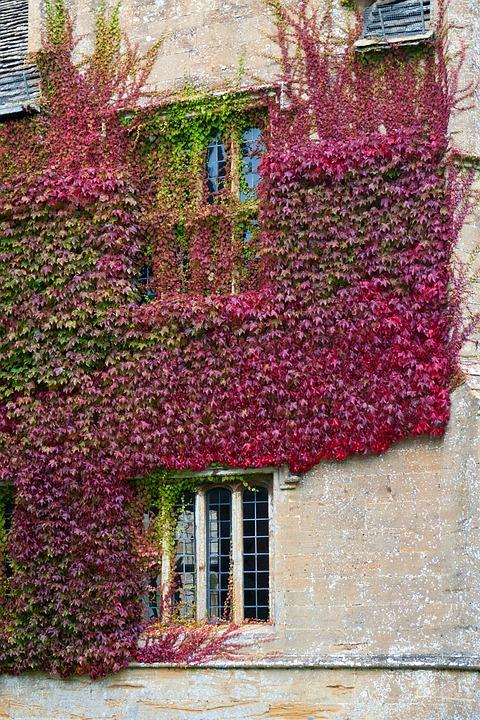 Boston Ivy, Stone Wall, Climbing, Cover, Autumn Colour