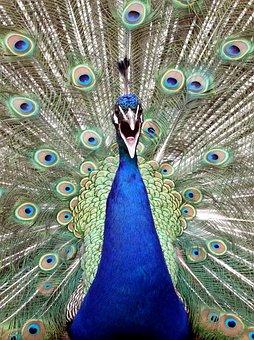 1040+  Gambar Burung Merak Dari Kardus  Terbaru Gratis
