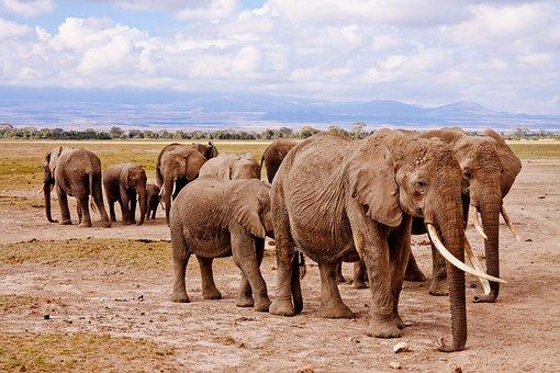 Elephants, Africa, Amboseli, Animal