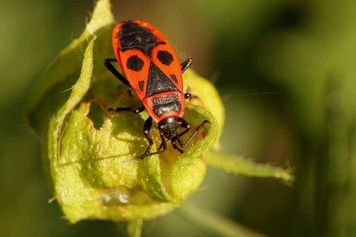 Beetle, Bug, Fire Bug, Insect