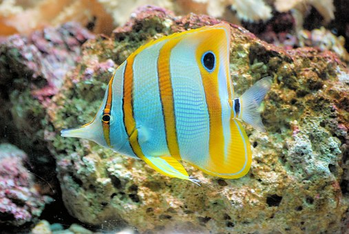 Butterflyfish, Fish, Tropical