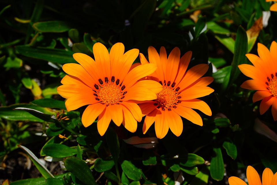 Noon gold flower images pixabay download free pictures gazania flowers yellow orange bloom mightylinksfo