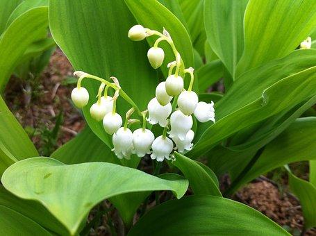 Liljekonvalj, Blommor, Natur