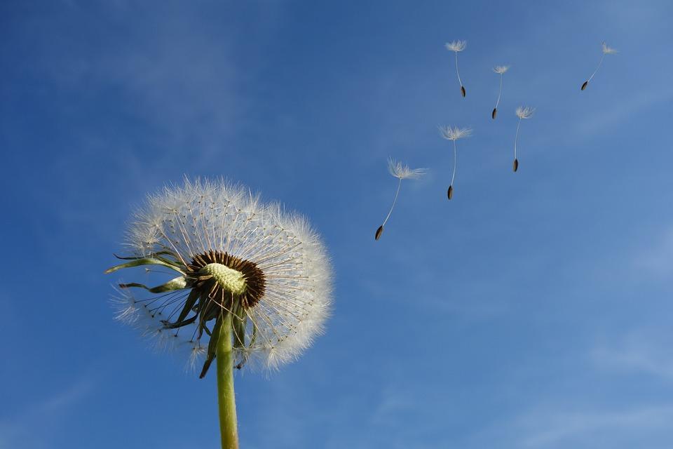 タンポポ, 空, 花, 自然, 種子, 植物, スプリング, 塞ぎます, 野生の花, 風, 打撃