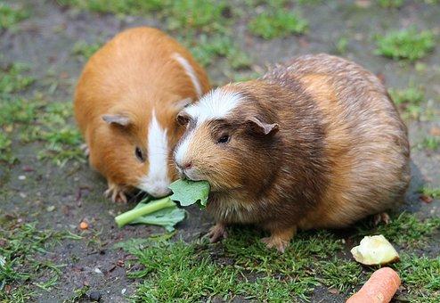 Guinea Pig, Guinea Pig House