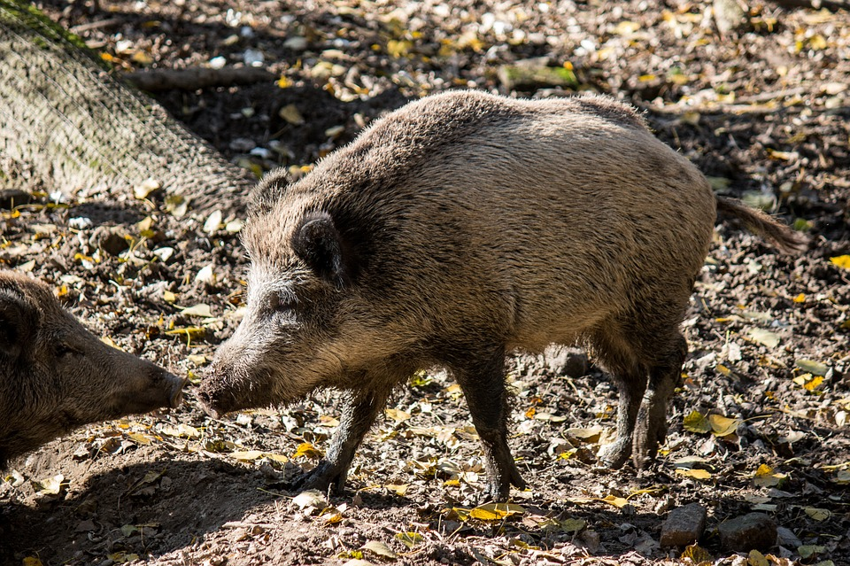 Free Photo: Boar, Animals, Pig, Nature