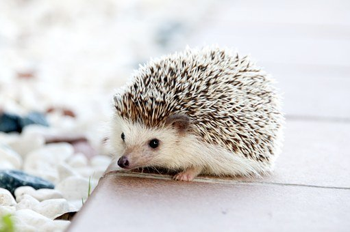 Hedgehog Animal Baby Cute Small Pet Hedgeh