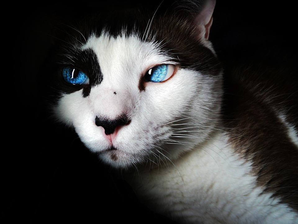 Free photo: Siamese, Blue Eyes, Cute, Feline - Free Image ...  White Cat With Dark Blue Eyes
