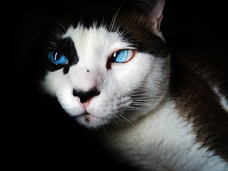 Siamese, Cat, Pet, Blue Eyes, Feline