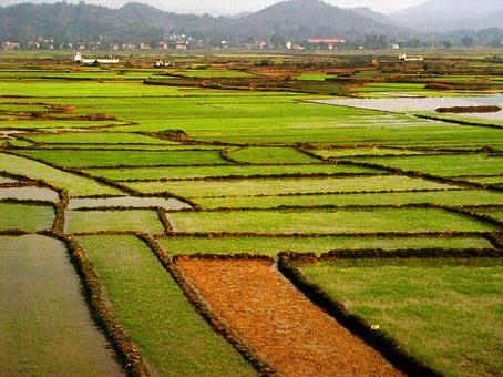 Field, Rice, Green, Tropical, Vietnam