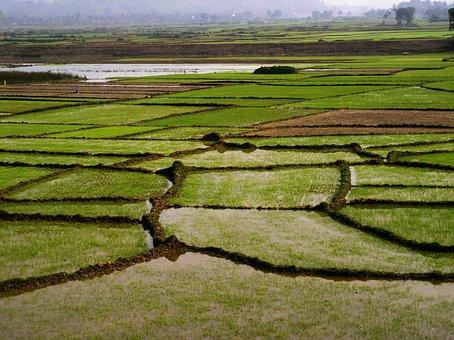 Field, Rice, Green, Tropical, Vietnam