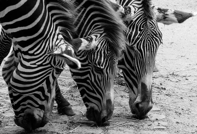 Black and white animal patterns