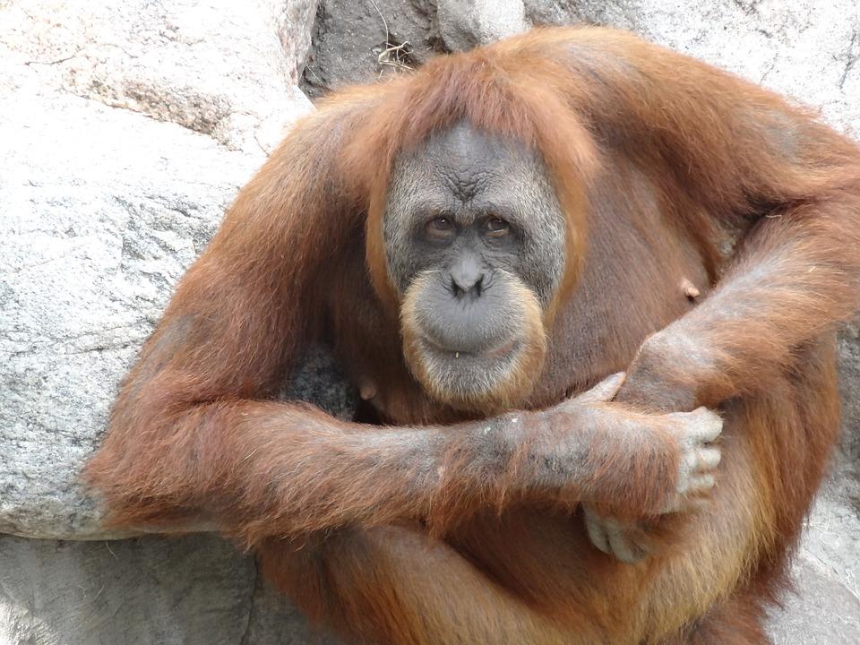 Orang Utan Kebun Binatang Monyet Kera