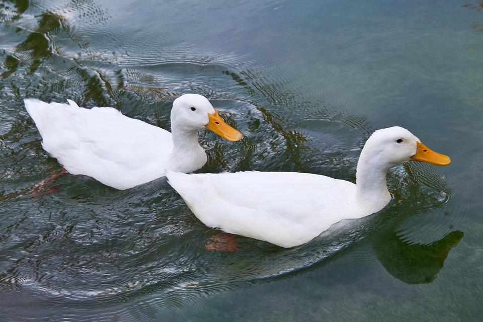 ducks water animal free photo on pixabay