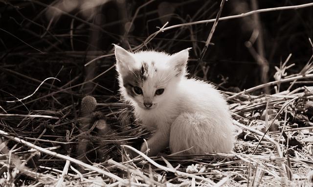 Cat Baby Free Photo On Pixabay