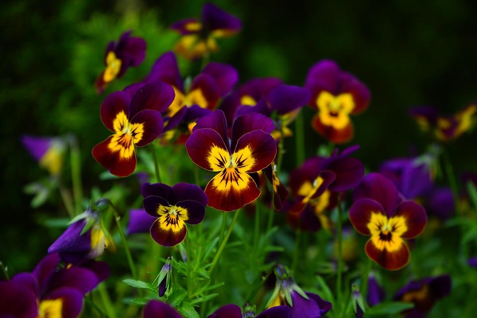 Photo gratuite violette fleur jaune violet image gratuite sur pixabay 474296 - Image fleur violette gratuite ...