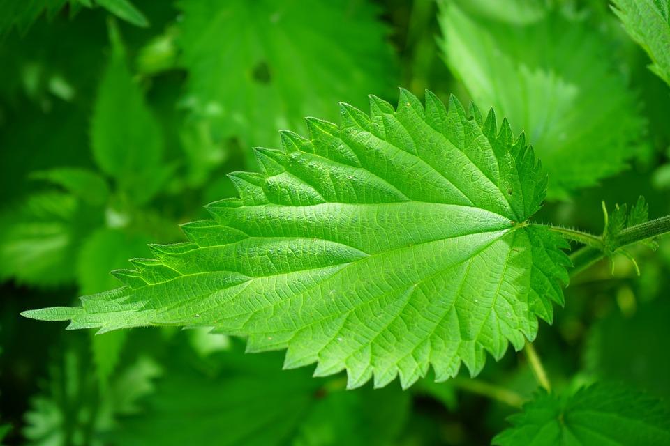 Stinging Nettle Leaves Burning - Free photo on Pixabay