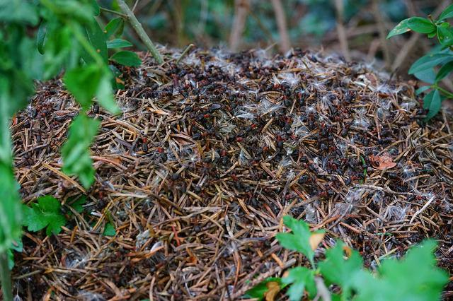 how to kill ant hills