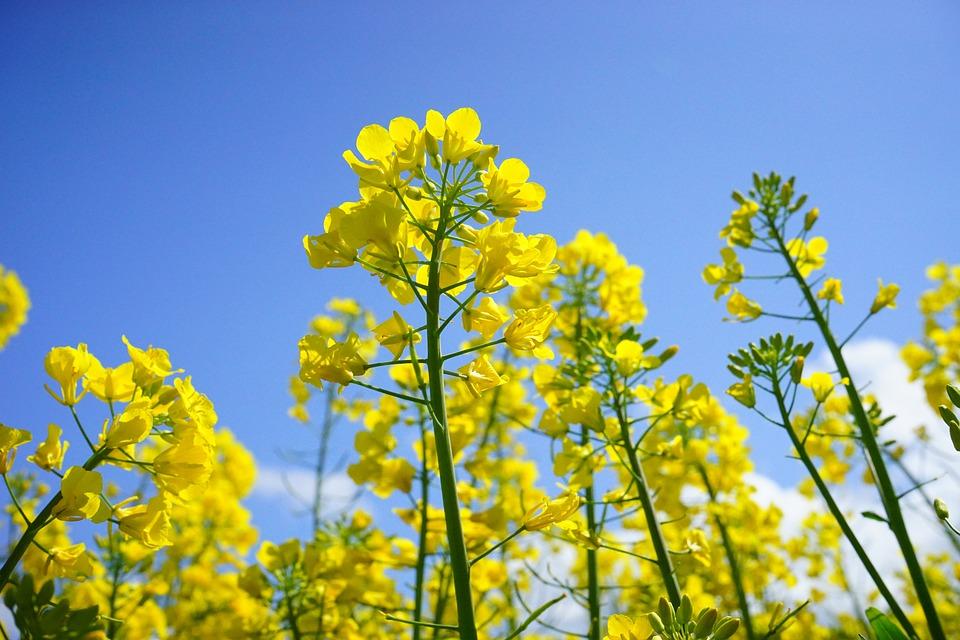 Rzepakowych Kwiatów, Kwiatostan, Rzepak, Żółty, Kwiaty