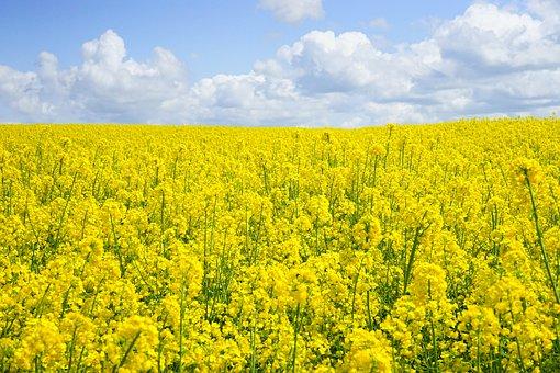Field Of Rapeseeds, Oilseed Rape