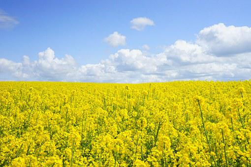 Field Of Rapeseeds, Oilseed Rape