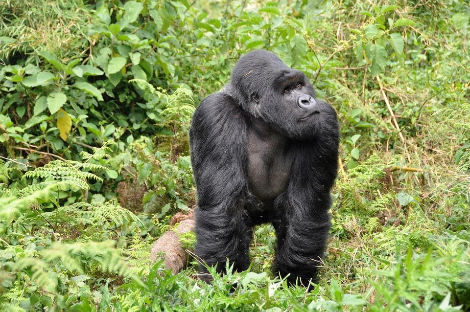 Gorillas, Silverback, Ape, Monkey, Rwanda