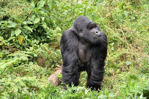 Gorillas, Silverback, Ape, Monkey