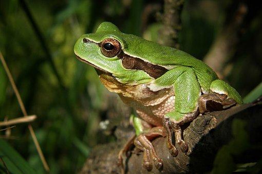 木のカエル, カエル, 自然, マクロ, 緑, 両生類, 動物