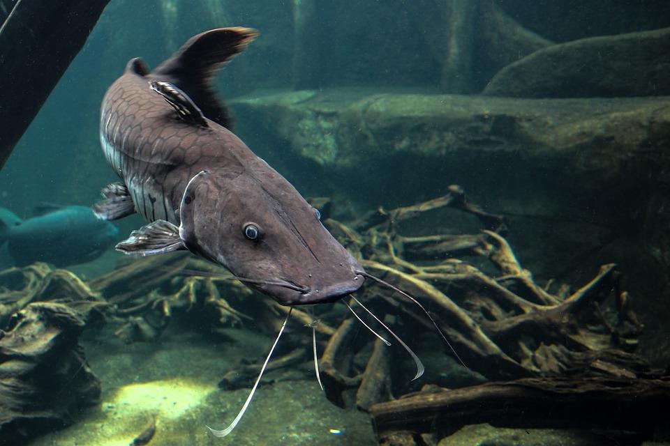 Free photo: Wels, Fish, Predatory Fish, Animal