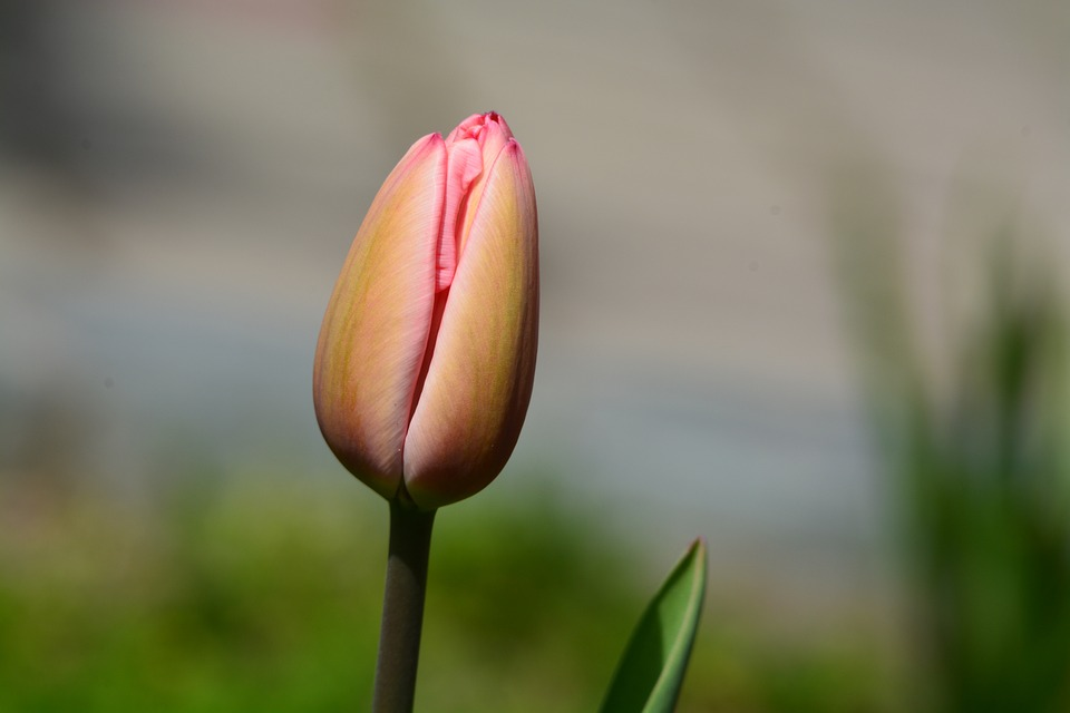 Tulip Spring Flower Free Photo On Pixabay