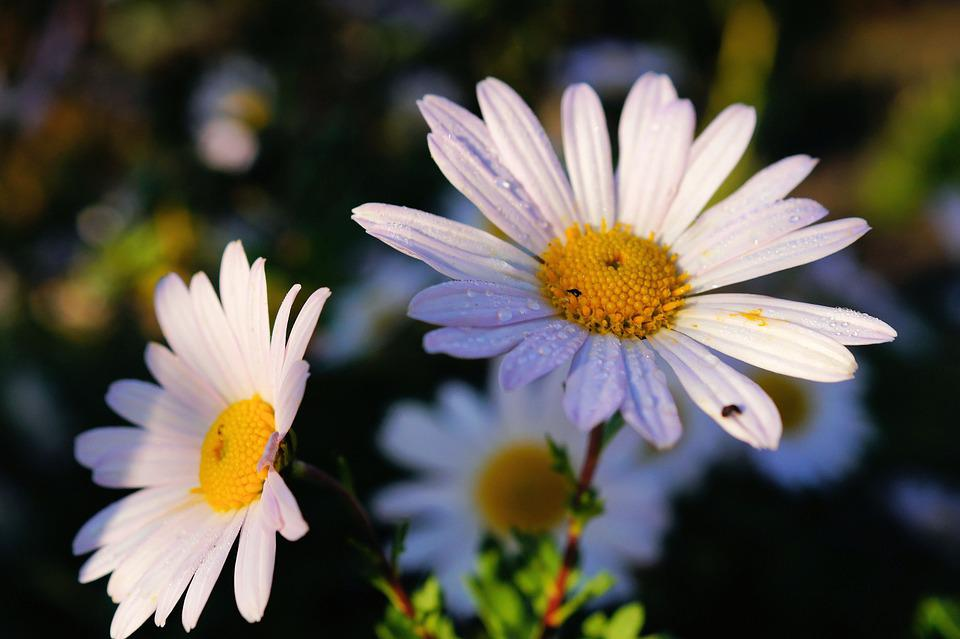free photo daisies, flowers, white, close  free image on pixabay, Beautiful flower