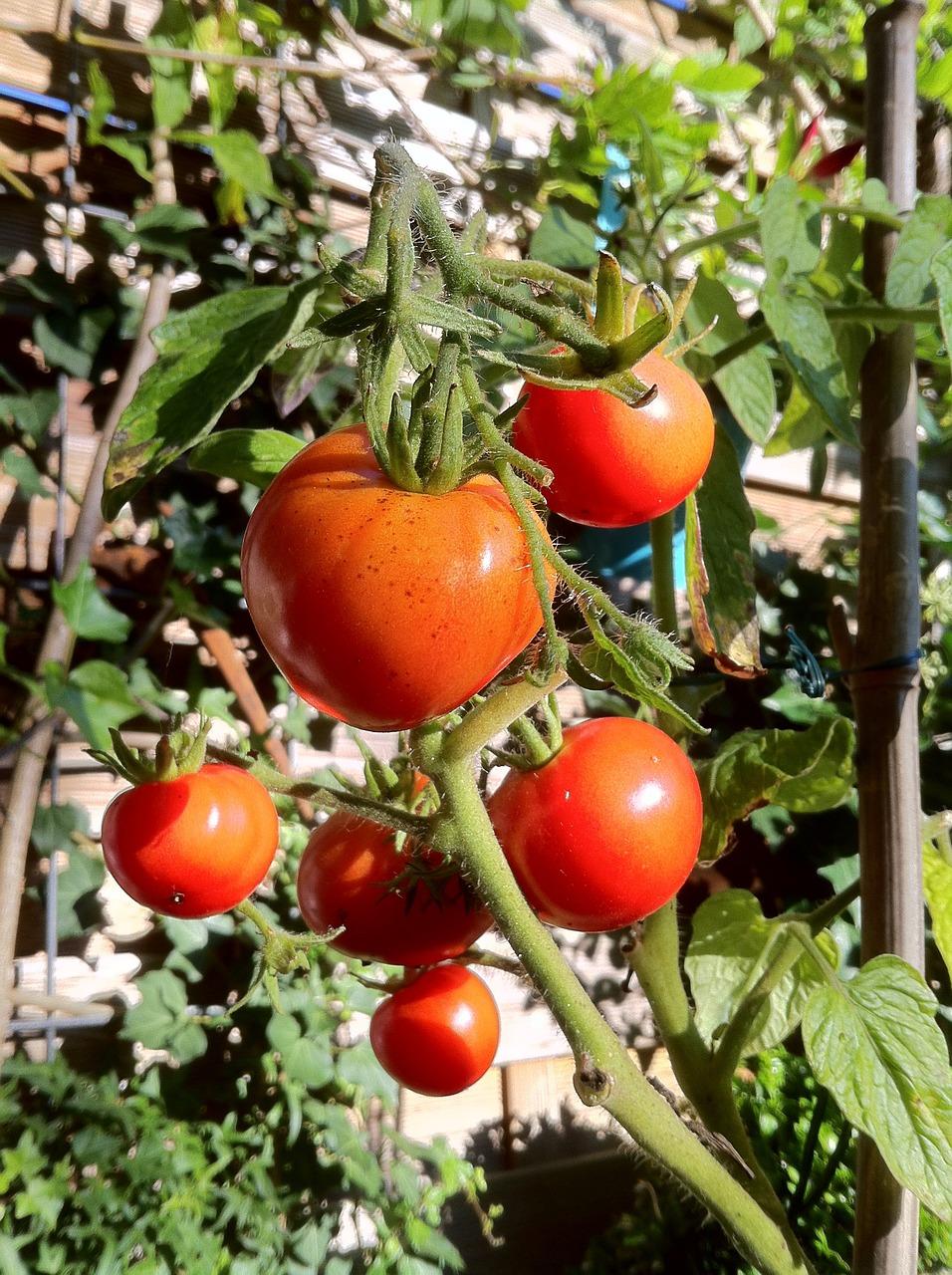 фото кустов помидор абзаца