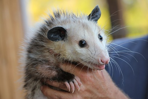 Possum Rodent Opossum Animal Mammal Wildli