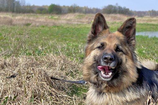 Dog, Animal, Fur, Coat, German Shepherd