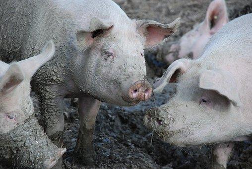 Pigs, Swine, Mud, Dirt, Wallow, Mammal