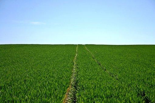 Cereals, Field, Green, Sky, Horizon