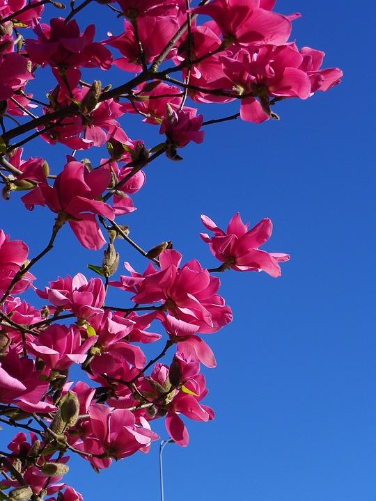 Magnolia Tree Red Free Photo On Pixabay